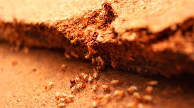 Do termites and woodworm attack the chipboard or MDF?