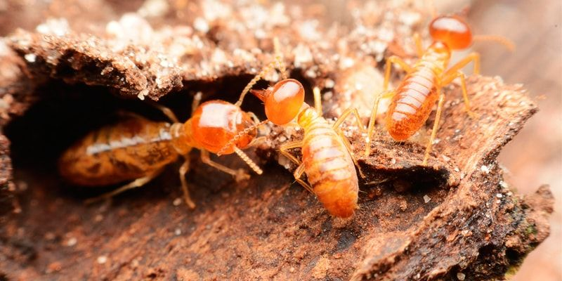 Types of termite resistant wood Which and why?