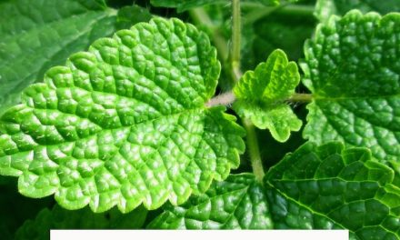 The great benefits and medicinal properties of Melissa