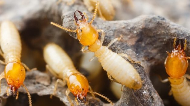 Wood termites: types and treatment
