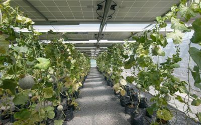 Farmers could generate electricity by harnessing solar energy without blocking light on their crops