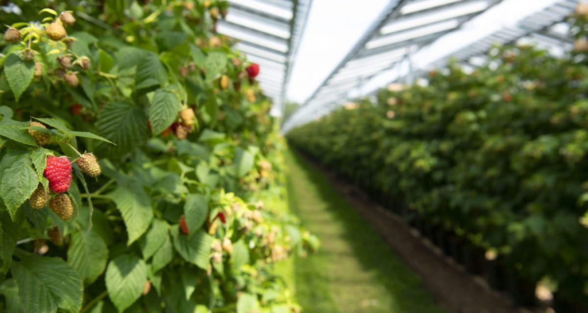 Raspberries and solar panels, agro-photovoltaics continues to grow